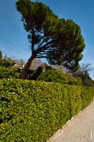Пейзажное фото с итальянской сосной пинией и стриженым коридором кустарника самшита на главной аллее Воронцовского дворца